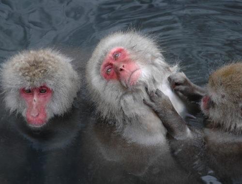 Yudanaka hot spring monkeys