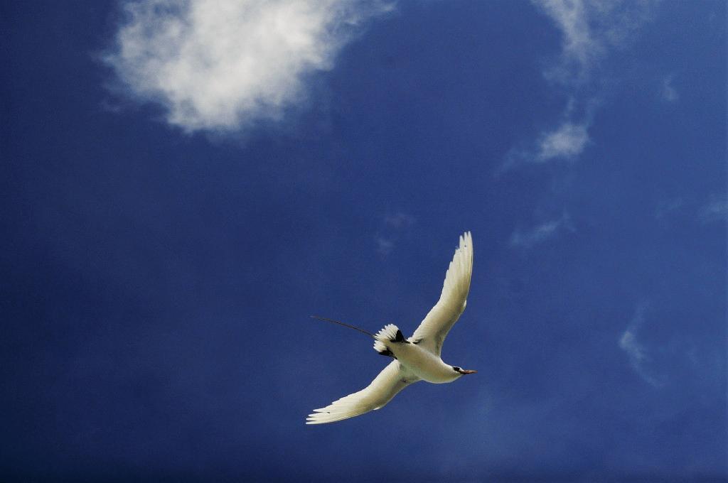 Tropical bird in Cook Islands