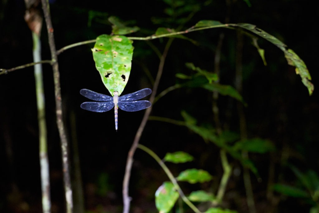 Dragonfly in the night