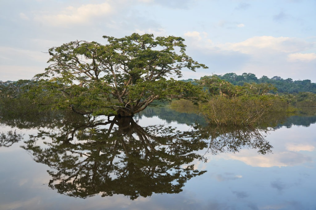 Mighty tree mirrored in the Cuyabeno lagoon
