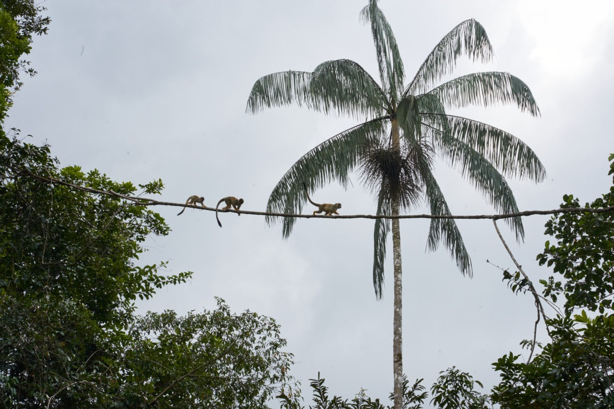 Monkeys and a palmtree in the jungle