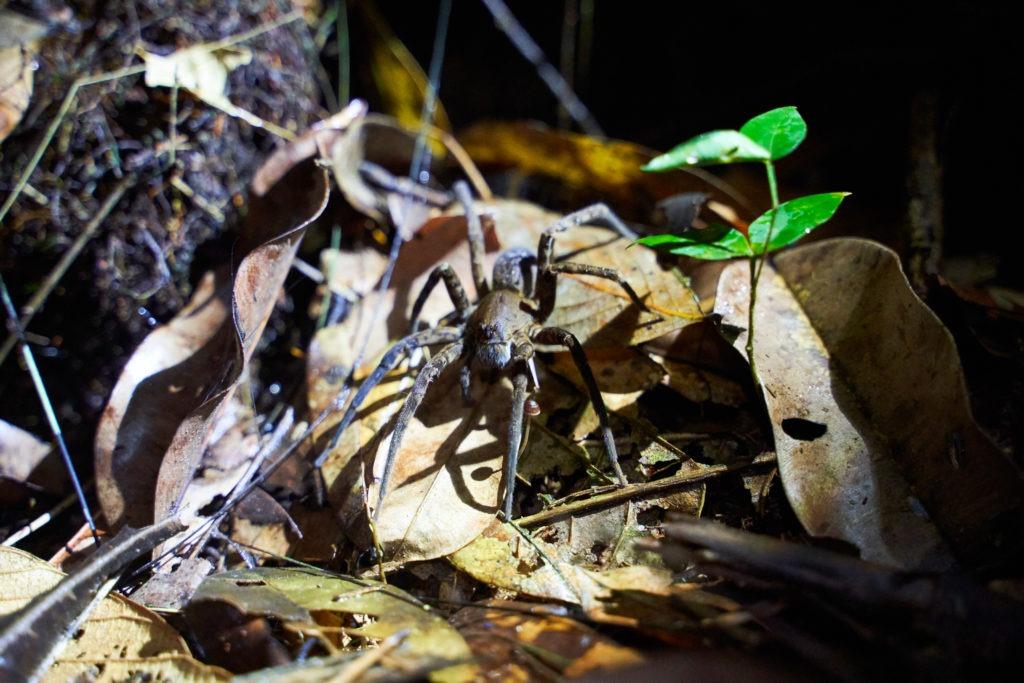 Poisenous wood spider