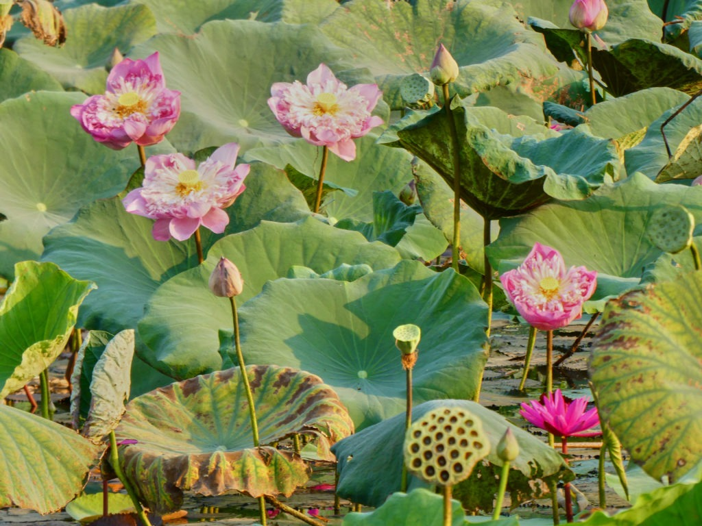 Lotus flowers in Angkor