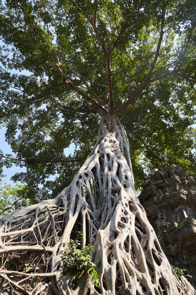 The famous tree in Ta Prohm