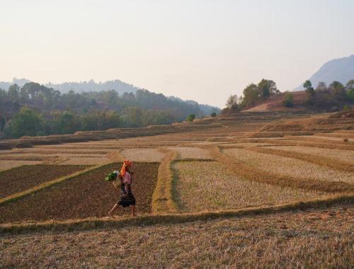 Burmese woman walking through rice fields