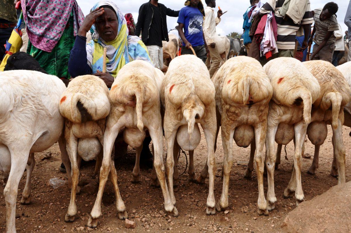 Babile Camel Market