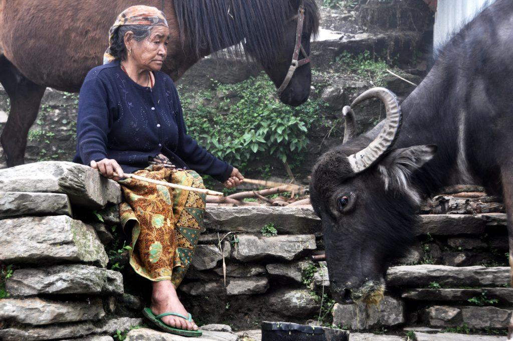 Nepali woman and her livestock