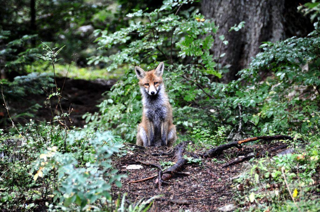 Fox in Durmitor National Park