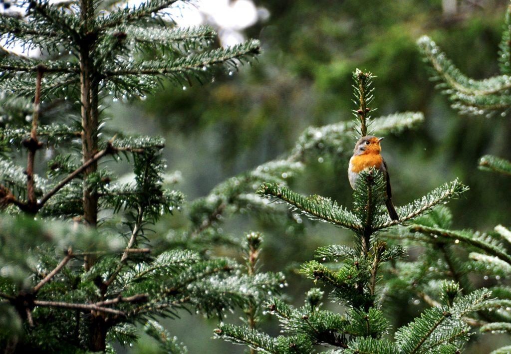 Robin in Durmitor National Park